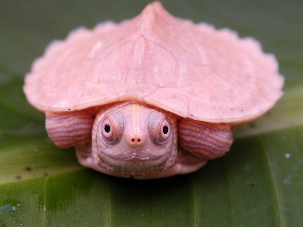How Big Does A Mississippi Map Turtle Get White Mississippi Map Turtles   Albino Turtles | Turtle Morphs