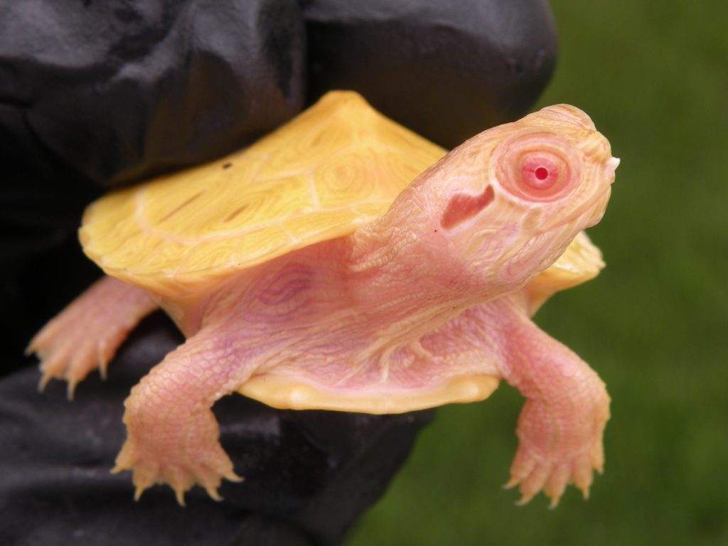 Albino Red Ear Sliders