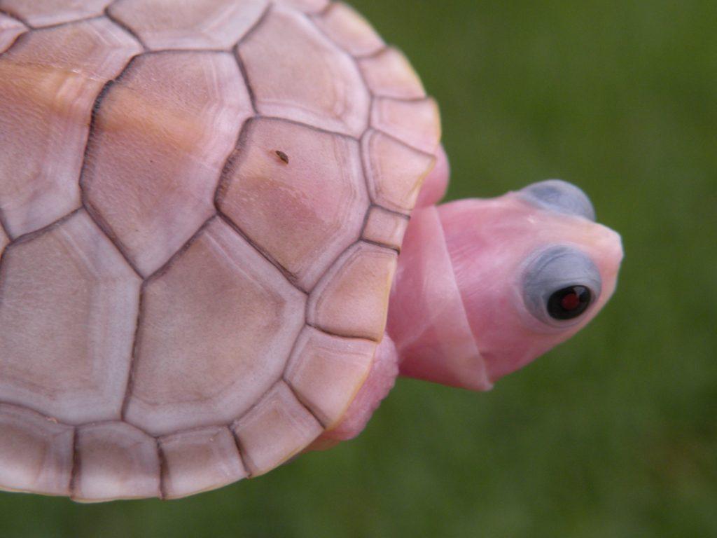 Caramel Pink Albinos