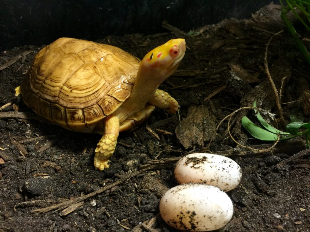 Albino Wood turtles