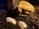 Albino Rhinoclemmys eggs