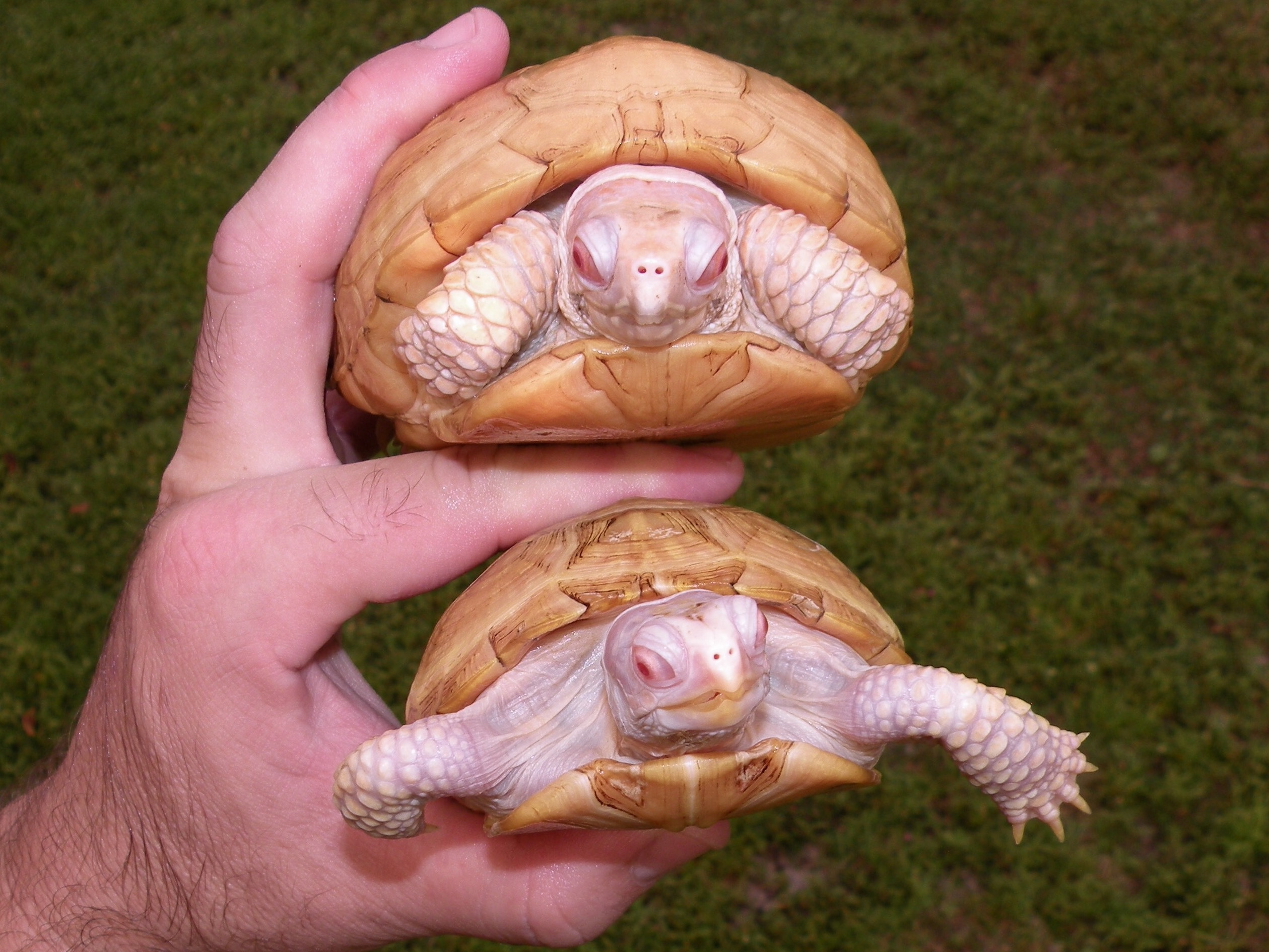 Albino box turtles