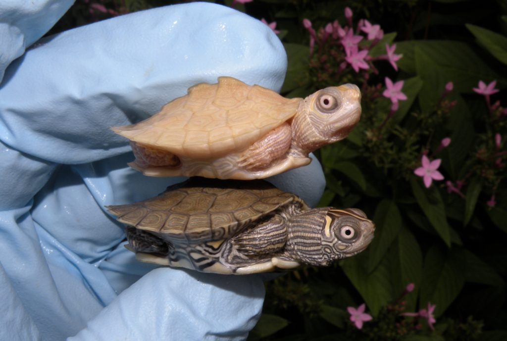 White Mississippi Map Turtles for Sale