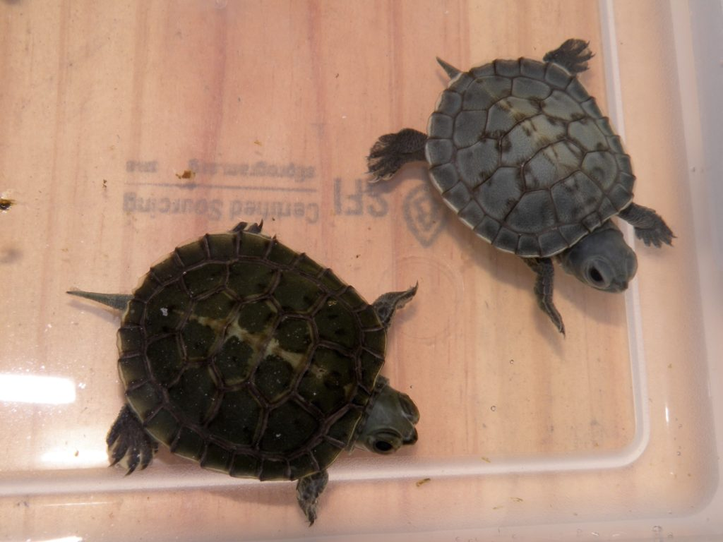 Charcoal Red Eared Sliders for Sale