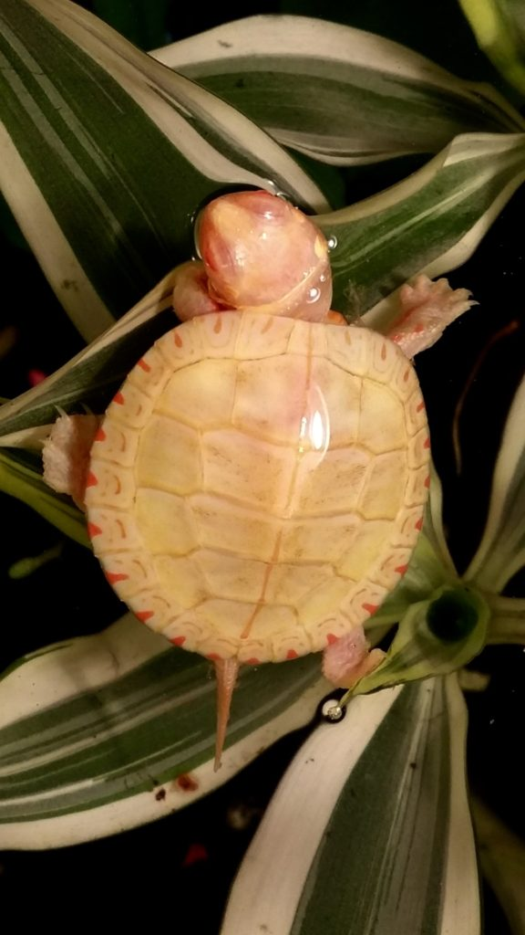 Albino Painted turtles