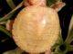 Albino Painted turtles