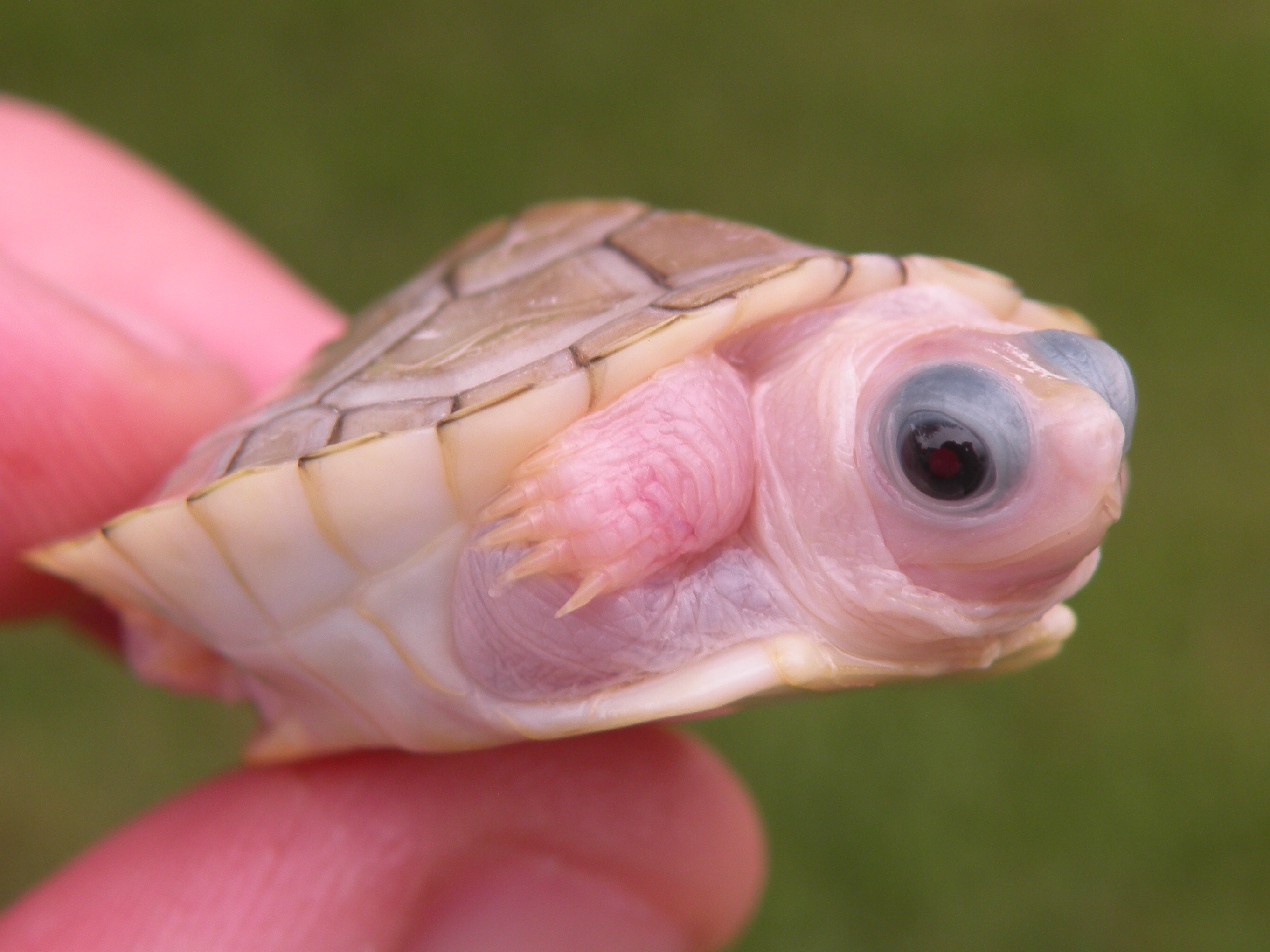 Caramel Pink Red Eared Sliders For Sale Albino Turtles