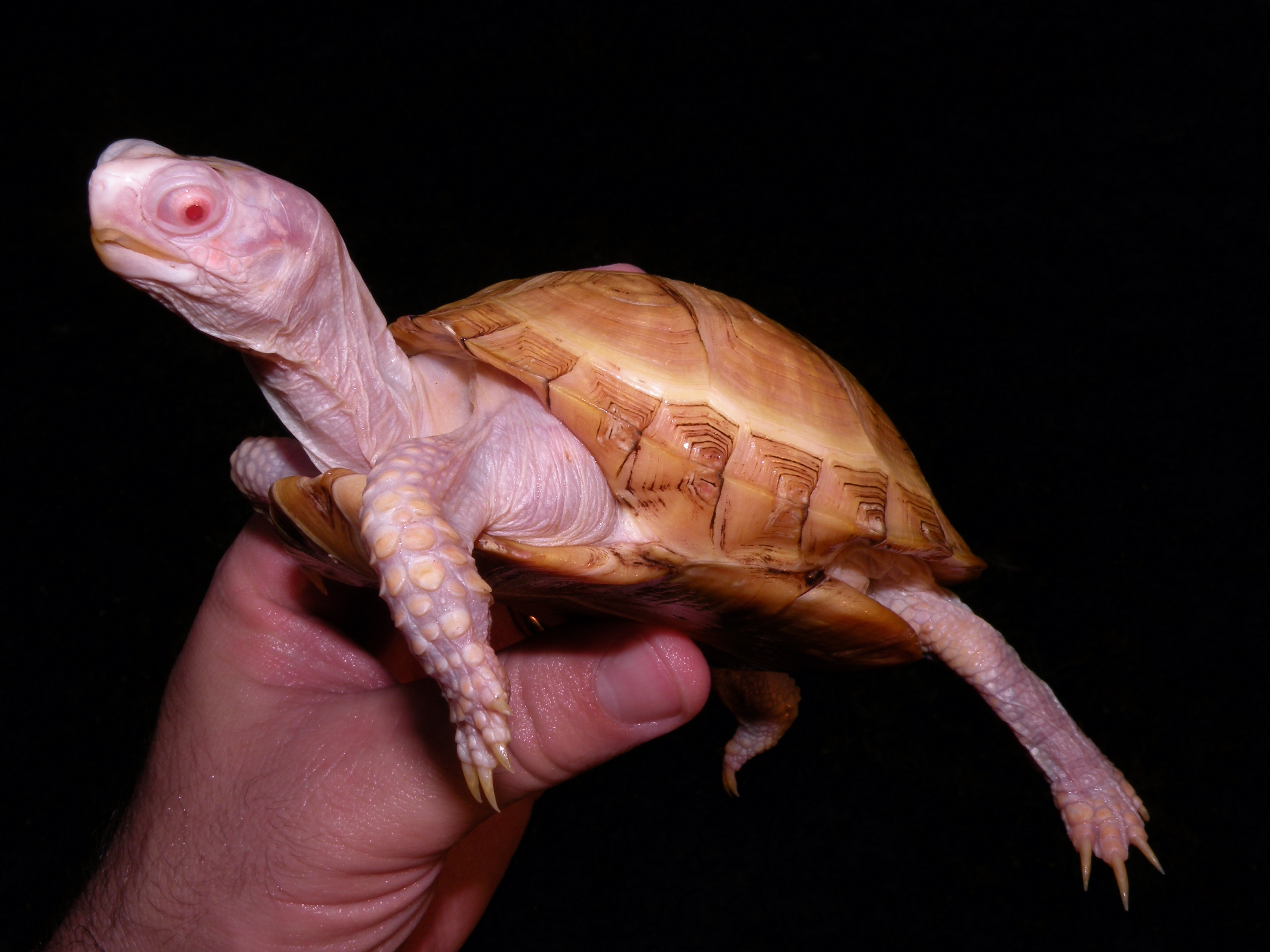 Albino eastern box turtles for sale