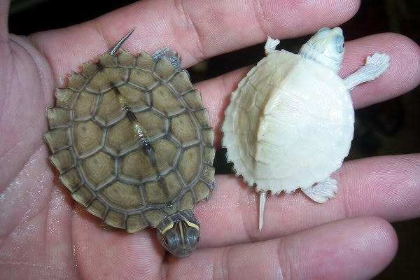 Albino Map turtles