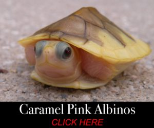 Available Turtle morphs
