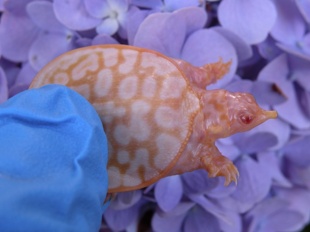 Albino Softshell turtles