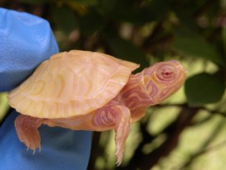 Albino Yellow Belly slider